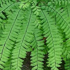 Leaf: Adiantum viridimontanum. ~ By Arthur Haines. ~ Copyright © 2020. ~ arthurhaines[at]wildblue.net