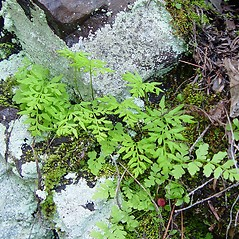 Plant form: Cryptogramma stelleri. ~ By Arthur Haines. ~ Copyright © 2017. ~ arthurhaines[at]wildblue.net