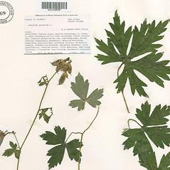 Leaves: Aconitum uncinatum. ~ By The Herbarium of The Morton Arboretum (MOR). ~ Copyright © 2018 The Morton Arboretum. ~ Ed Hedborn, The Morton Arboretum ~ The Herbarium of The Morton Arboretum