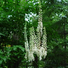 Flowers: Actaea racemosa. ~ By Arthur Haines. ~ Copyright © 2018. ~ arthurhaines[at]wildblue.net