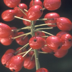 Fruits: Actaea rubra. ~ By Albert Bussewitz. ~ Copyright © 2017 New England Wild Flower Society. ~ Image Request, images[at]newenglandwild.org