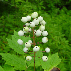 Fruits: Actaea rubra. ~ By Arthur Haines. ~ Copyright © 2017. ~ arthurhaines[at]wildblue.net