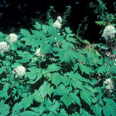 Plant form: Actaea rubra. ~ By John Lynch. ~ Copyright © 2017 New England Wild Flower Society. ~ Image Request, images[at]newenglandwild.org