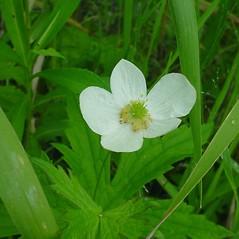 Flowers: Anemone canadensis. ~ By Glen Mittelhauser. ~ Copyright © 2019 Glen Mittelhauser. ~ www.mainenaturalhistory.org