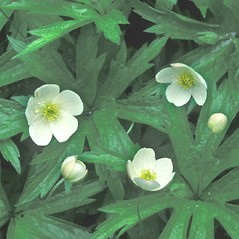 Flowers: Anemone canadensis. ~ By Hal Horwitz. ~ Copyright © 2018 New England Wild Flower Society. ~ Image Request, images[at]newenglandwild.org