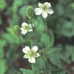 Flowers: Anemone virginiana. ~ By John Lynch. ~ Copyright © 2018 New England Wild Flower Society. ~ Image Request, images[at]newenglandwild.org