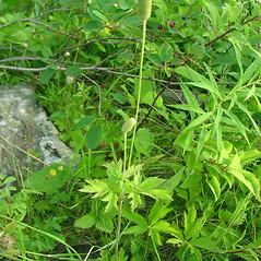 Plant form: Anemone virginiana. ~ By Glen Mittelhauser. ~ Copyright © 2019 Glen Mittelhauser. ~ www.mainenaturalhistory.org