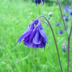 Flowers: Aquilegia vulgaris. ~ By Arthur Haines. ~ Copyright © 2020. ~ arthurhaines[at]wildblue.net
