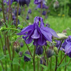 Flowers: Aquilegia vulgaris. ~ By Arthur Haines. ~ Copyright © 2019. ~ arthurhaines[at]wildblue.net