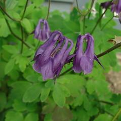 Flowers: Aquilegia vulgaris. ~ By Glen Mittelhauser. ~ Copyright © 2019 Glen Mittelhauser. ~ www.mainenaturalhistory.org