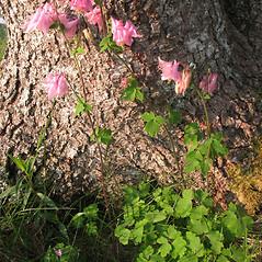 Plant form: Aquilegia vulgaris. ~ By Marilee Lovit. ~ Copyright © 2020 Marilee Lovit. ~ lovitm[at]gmail.com