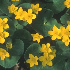 Flowers: Caltha palustris. ~ By Arieh Tal. ~ Copyright © 2019 Arieh Tal. ~ http://botphoto.com/ ~ Arieh Tal - botphoto.com
