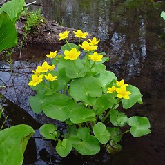 Plant form: Caltha palustris. ~ By Arthur Haines. ~ Copyright © 2020. ~ arthurhaines[at]wildblue.net