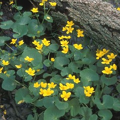 Plant form: Caltha palustris. ~ By Arieh Tal. ~ Copyright © 2019 Arieh Tal. ~ http://botphoto.com/ ~ Arieh Tal - botphoto.com