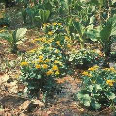 Plant form: Caltha palustris. ~ By David Longland. ~ Copyright © 2020 New England Wild Flower Society. ~ Image Request, images[at]newenglandwild.org