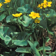 Plant form: Caltha palustris. ~ By Jeff Carmichael. ~ Copyright © 2020 New England Wild Flower Society. ~ Image Request, images[at]newenglandwild.org