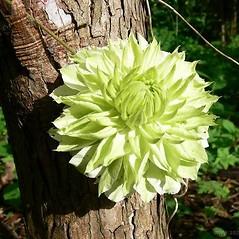 Flowers: Clematis florida. ~ By Bjarne Dinesen. ~ Copyright © 2019 Bjarne Dinesen. ~ bjarne[at]asperupgaard.dk ~ Asperupgaard Garden and Gallery, asperupgaard.dk