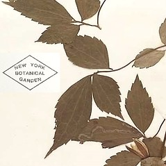 Leaves: Clematis florida. ~ By William and Linda Steere and the C.V. Starr Virtual Herbarium. ~ Copyright © 2019 William and Linda Steere and the C.V. Starr Virtual Herbarium. ~ Barbara Thiers, Director; bthiers[at]nybg.org ~ C.V. Starr Herbarium - NY Botanical Gardens