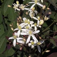 Flowers: Clematis recta. ~ By Paul S. Drobot. ~ Copyright © 2019 Paul S. Drobot. ~ www.plantstogrow.com, www.plantstockphotos.com ~ Robert W. Freckmann Herbarium, U. of Wisconsin-Stevens Point