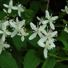 Flowers: Clematis terniflora. ~ By Arthur Haines. ~ Copyright © 2020. ~ arthurhaines[at]wildblue.net