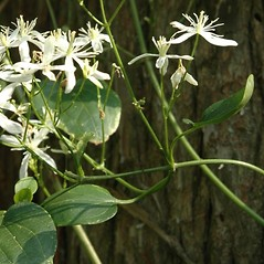 Plant form: Clematis terniflora. ~ By Chris Evans. ~ Copyright © 2019 CC BY-NC 3.0. ~  ~ Bugwood - www.bugwood.org/