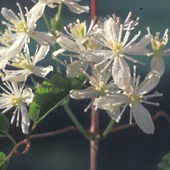 Flowers: Clematis virginiana. ~ By Albert Bussewitz. ~ Copyright © 2018 New England Wild Flower Society. ~ Image Request, images[at]newenglandwild.org