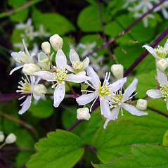 Flowers: Clematis virginiana. ~ By Arthur Haines. ~ Copyright © 2018. ~ arthurhaines[at]wildblue.net