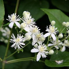 Flowers: Clematis vitalba. ~ By Robert Vid_ki. ~ Copyright © 2018 CC BY-NC 3.0. ~  ~ Bugwood - www.bugwood.org/