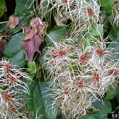Fruits: Clematis vitalba. ~ By Jan Samanek. ~ Copyright © 2018 CC BY-NC 3.0. ~  ~ Bugwood - www.bugwood.org/