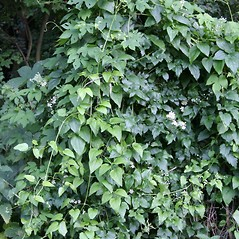 Plant form: Clematis vitalba. ~ By Robert Vid_ki. ~ Copyright © 2018 CC BY-NC 3.0. ~  ~ Bugwood - www.bugwood.org/