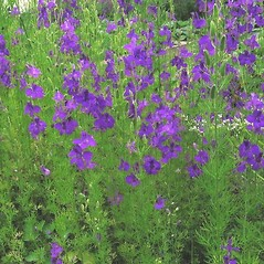 Plant form: Consolida orientalis. ~ By Michael Kesl . ~ Copyright © 2019 CC-BY-NC 3.0. ~  ~ Biolib - www.biolib.cz