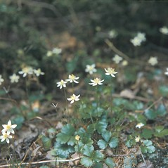 Plant form: Coptis trifolia. ~ By Frank Bramley. ~ Copyright © 2018 New England Wild Flower Society. ~ Image Request, images[at]newenglandwild.org