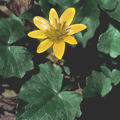 Leaves: Ficaria verna. ~ By Adelaide Pratt. ~ Copyright © 2019 New England Wild Flower Society. ~ Image Request, images[at]newenglandwild.org