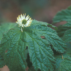 Flowers: Hydrastis canadensis. ~ By Dorothy Long. ~ Copyright © 2017 New England Wild Flower Society. ~ Image Request, images[at]newenglandwild.org