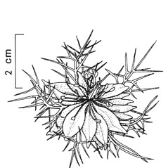 Flowers: Nigella damascena. ~ By New York State Museum. ~ Copyright © 2018 New York State Museum. ~ www.nysm.nysed.gov/imagerequest