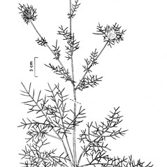 Plant form: Nigella damascena. ~ By New York State Museum. ~ Copyright © 2018 New York State Museum. ~ www.nysm.nysed.gov/imagerequest