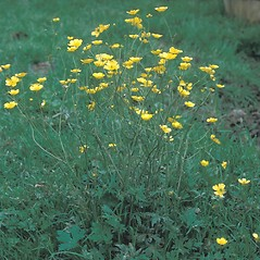 Plant form: Ranunculus acris. ~ By Frank Bramley. ~ Copyright © 2017 New England Wild Flower Society. ~ Image Request, images[at]newenglandwild.org