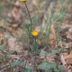 Plant form: Ranunculus bulbosus. ~ By Lawrence Newcomb. ~ Copyright © 2018 New England Wild Flower Society. ~ Image Request, images[at]newenglandwild.org