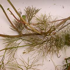 Stems: Ranunculus flabellaris. ~ By Peter M. Dziuk. ~ Copyright © 2017 Peter M. Dziuk. ~ http://www.minnesotawildflowers.info ~ Minnesota Wildflowers - www.minnesotawildflowers.info/