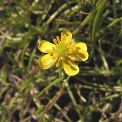 Flowers: Ranunculus flammula. ~ By Marilee Lovit. ~ Copyright © 2017 Marilee Lovit. ~ lovitm[at]gmail.com