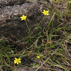 Plant form: Ranunculus flammula. ~ By Marilee Lovit. ~ Copyright © 2017 Marilee Lovit. ~ lovitm[at]gmail.com