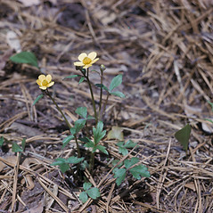 Plant form: Ranunculus hispidus. ~ By Lawrence Newcomb. ~ Copyright © 2019 New England Wild Flower Society. ~ Image Request, images[at]newenglandwild.org