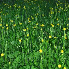 Plant form: Ranunculus repens. ~ By Glen Mittelhauser. ~ Copyright © 2019 Glen Mittelhauser. ~ www.mainenaturalhistory.org