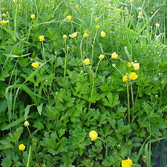 Plant form: Ranunculus repens. ~ By Glen Mittelhauser. ~ Copyright © 2020 Glen Mittelhauser. ~ www.mainenaturalhistory.org