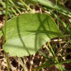 Leaves: Ranunculus rhomboideus. ~ By Curtis Bjork. ~ Copyright © 2019 Curtis Bjork. ~ crbjork[at]gmail.com ~ E-Flora BC - www.geog.ubc.ca/biodiversity/eflora/