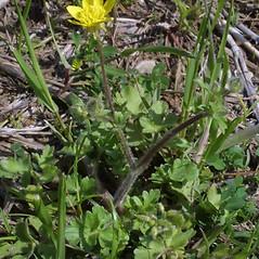 Plant form: Ranunculus sardous. ~ By Steven Baskauf. ~ Copyright © 2019 CC-BY-NC-SA. ~  ~ Bioimages - www.cas.vanderbilt.edu/bioimages/frame.htm