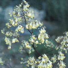 Flowers: Thalictrum dasycarpum. ~ By John Lynch. ~ Copyright © 2019 New England Wild Flower Society. ~ Image Request, images[at]newenglandwild.org