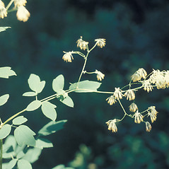 Leaves: Thalictrum dasycarpum. ~ By Lawrence Newcomb. ~ Copyright © 2019 New England Wild Flower Society. ~ Image Request, images[at]newenglandwild.org