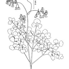 Plant form: Thalictrum dioicum. ~ By New York State Museum. ~ Copyright © 2019 New York State Museum. ~ www.nysm.nysed.gov/imagerequest