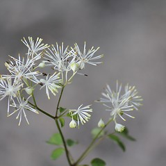 Flowers: Thalictrum pubescens. ~ By Mareike Conrad. ~ Copyright © 2018 Mareike Conrad. ~ mareike.conrad[at]googlemail.com